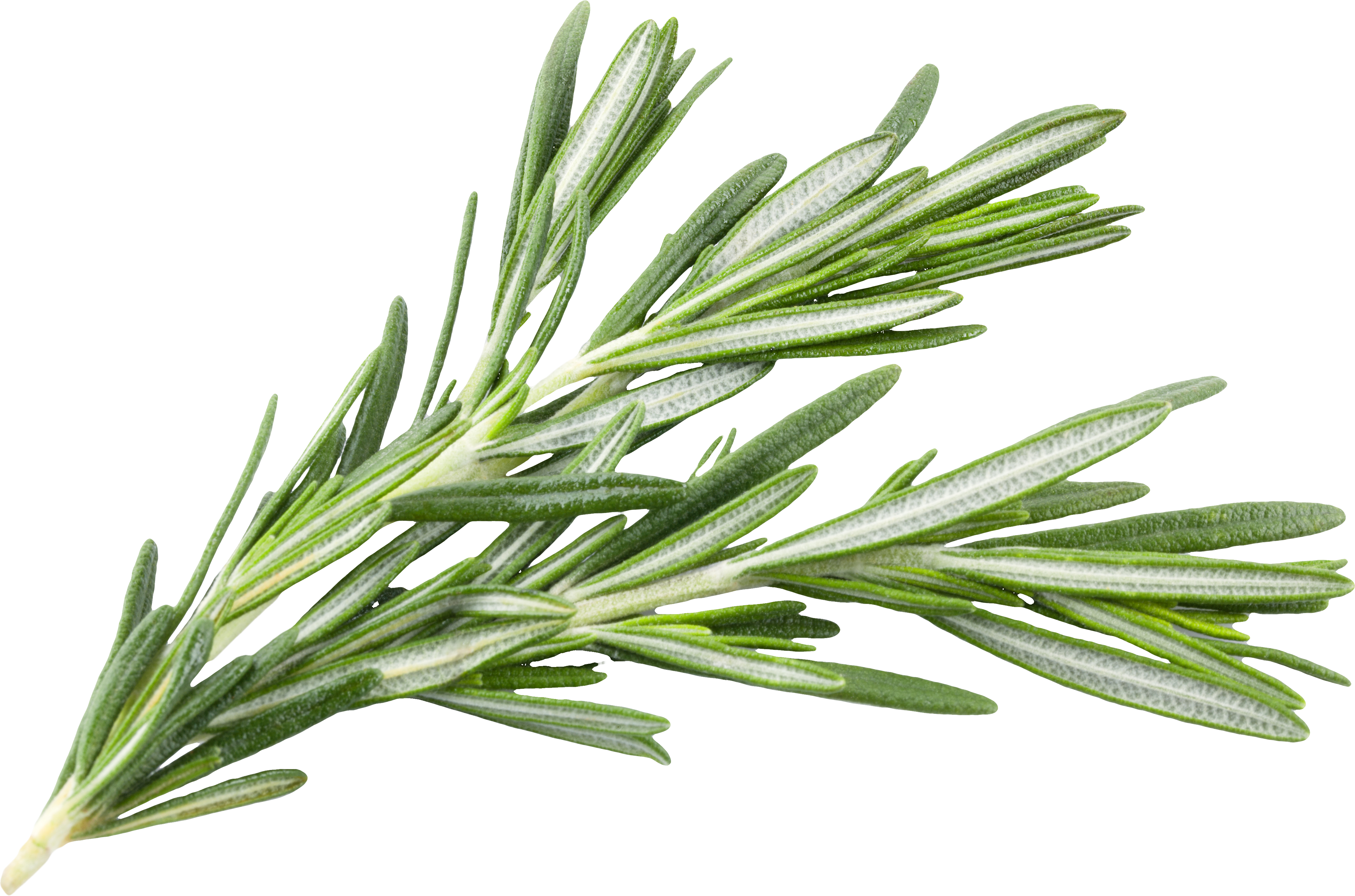 A sprig of green rosemary
